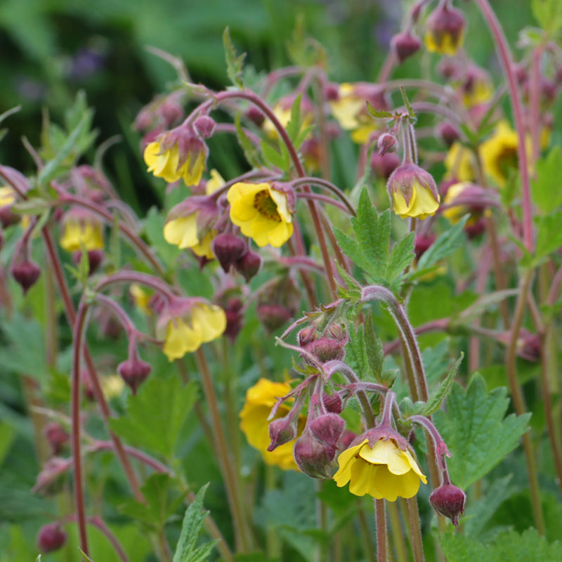 Geum herterton primrose hardy geraniums ornamental grasses and geum herterton primrose mightylinksfo