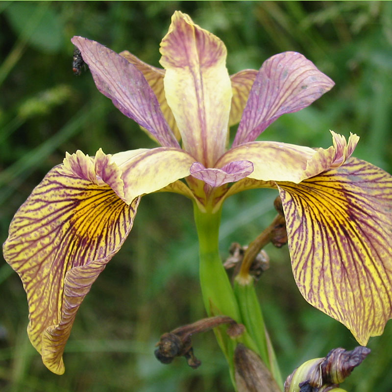 Iris 'Holden Clough'