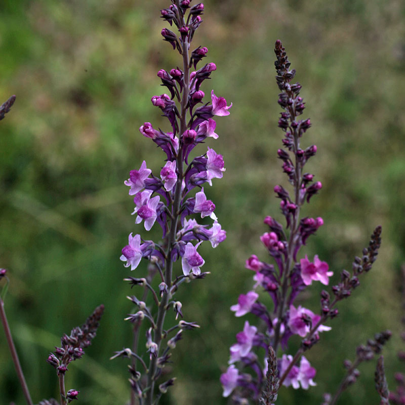 Linaria bright pink seedling