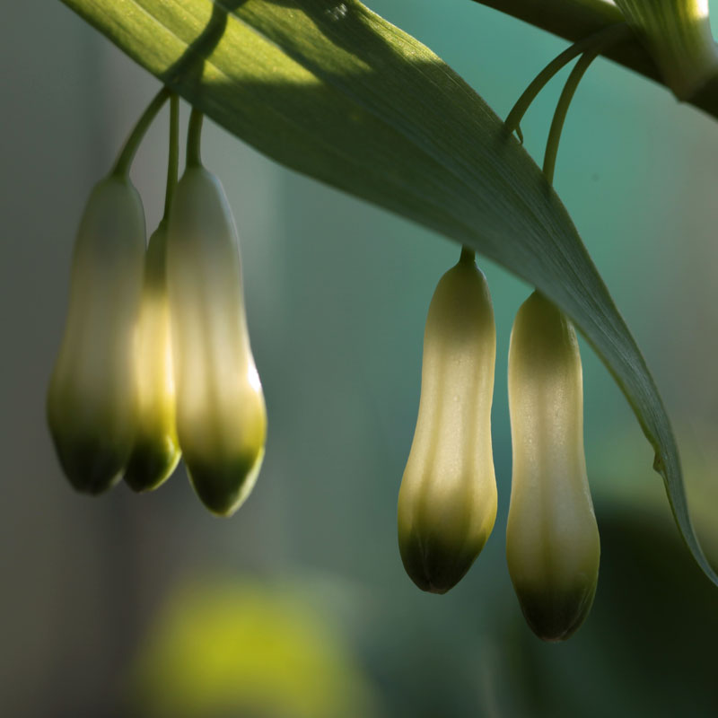 Polygonatum filipes