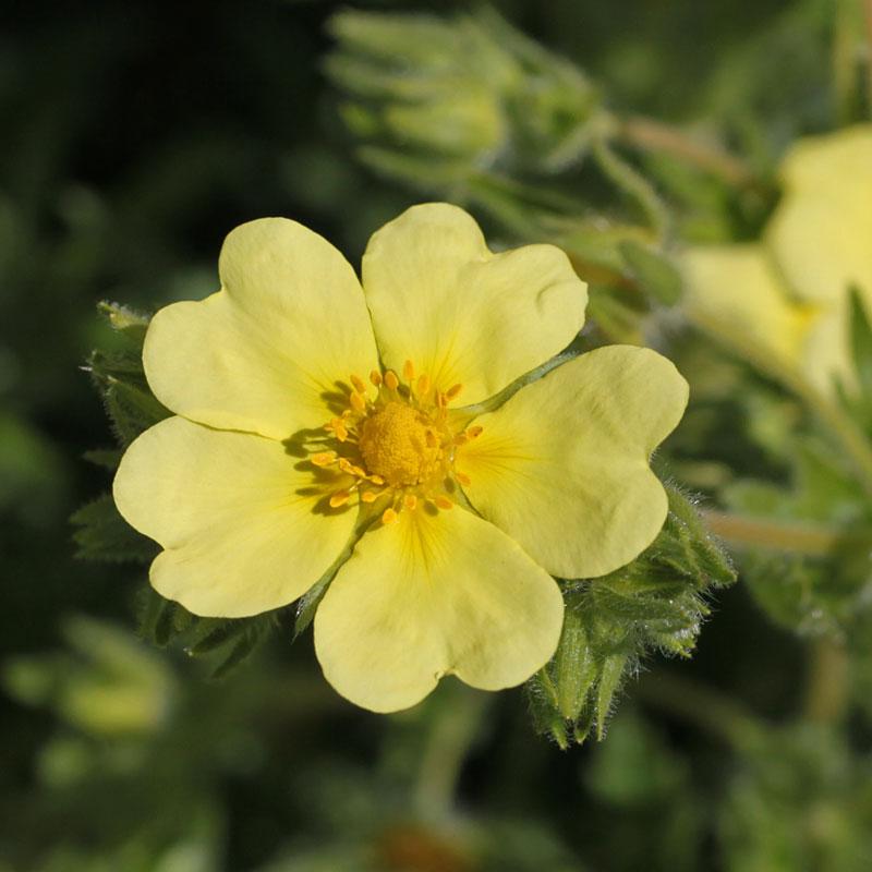 Potentilla recta var sulphurea hardy geraniums ornamental potentilla recta var sulphurea mightylinksfo