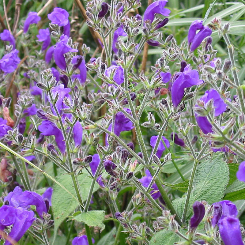 Strobilanthes rankanensis