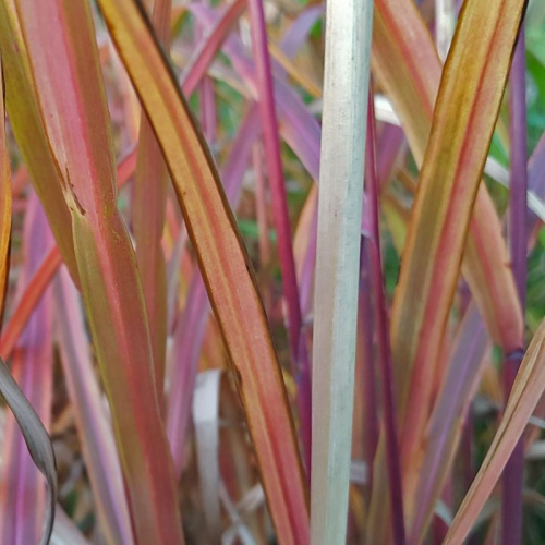 Miscanthus 'Dronning Ingrid'