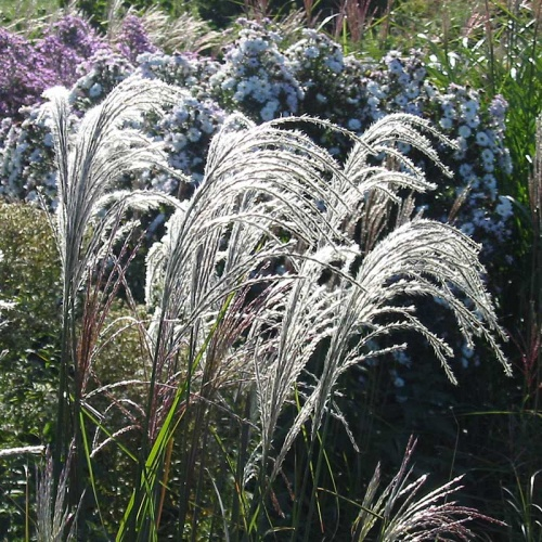 EVENT: Propagating Ornamental Grasses