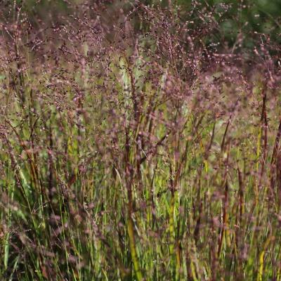 Panicum virgatum 39 shenandoah 39 hardy geraniums for Hardy perennial grasses