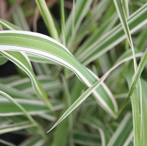 Phalaris arundinacea var. picta 'Streamlined'