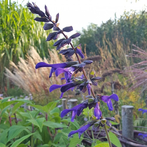Salvia guaranitica purple flowered