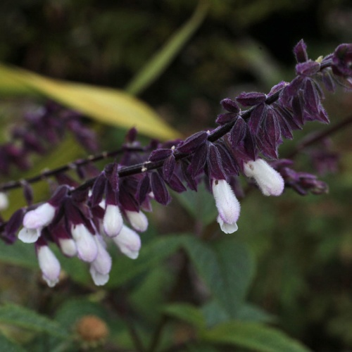 Salvia 'Waverly'