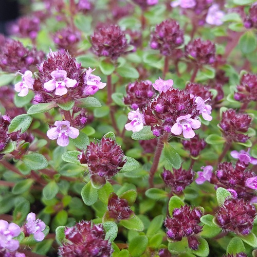 Thymus 'Caborn Wine and Roses'